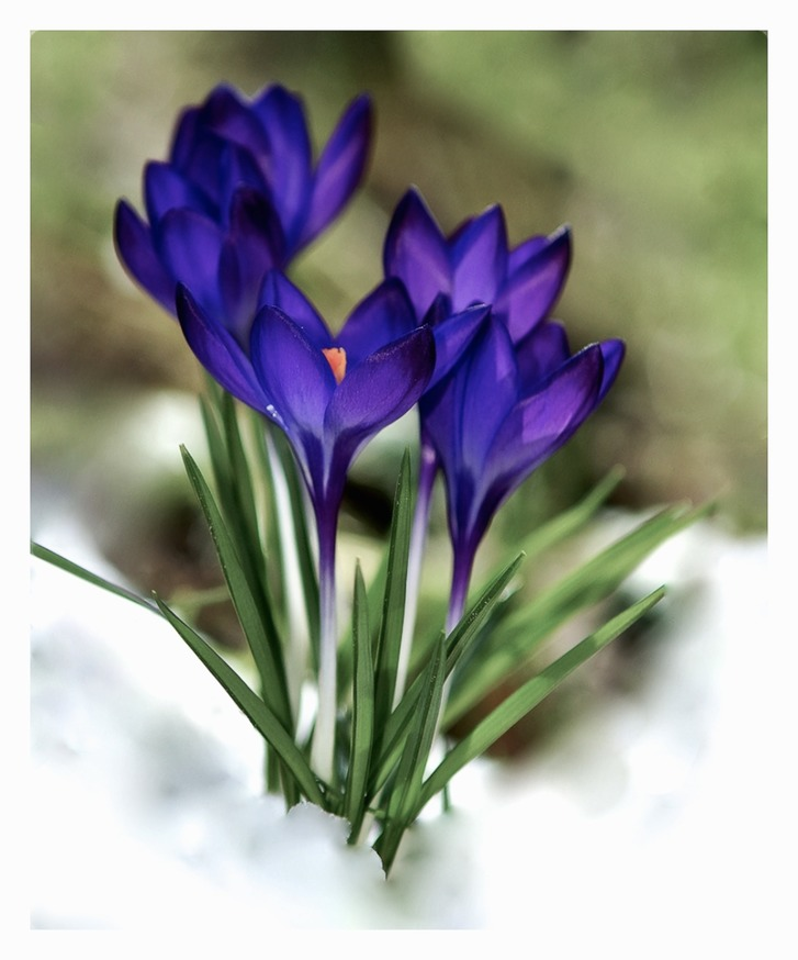 The Crocuses