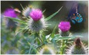 Thistles and Butterfly